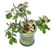 Jade plant with dollar bills isolated on white