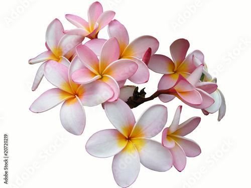 Foto op Canvas Frangipani Frangipani vor weißem Hintergrund