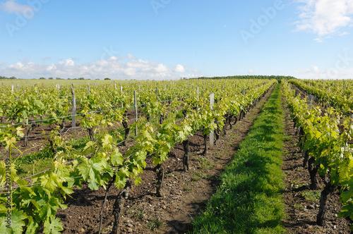 Keuken foto achterwand Wijngaard vigne au printemps