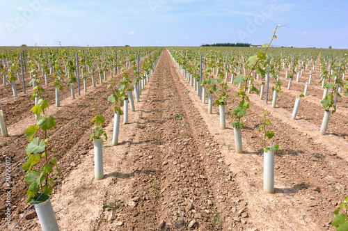 Papiers peints Vignoble plantation d'une vigne