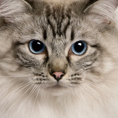 close up of a Ragdoll (2 years old)