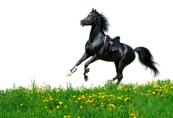 Arabian stallion gallops in field