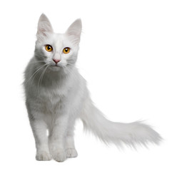 Front view of Turkish Angora, standing and looking at the camera