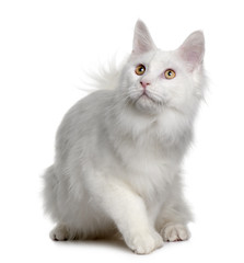 Front view of White maine coon, sitting and looking up