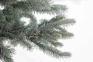 branch of fir, covered with hoar-frost