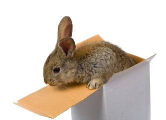 gray rabbit climbing out from the box