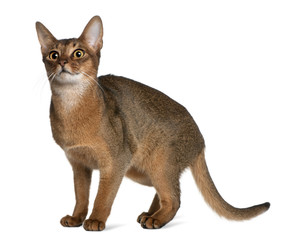 Side view of Abyssinian, standing and looking up
