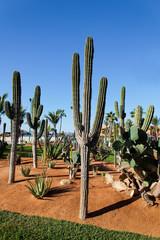 desert plants in a vacation resort in los cabos