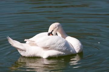swan, bird
