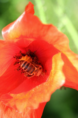 Mohnblüte mit Biene