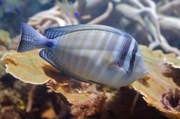 The sohal surgeonfish or sohal tang, Acanthurus sohal