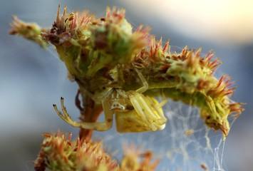 araignée jaune sous une fleur