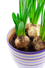 narcissus bulbs in ceramic pot
