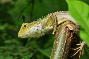 tree lizard in the parks