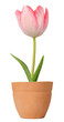 Tulip growing in a flower pot