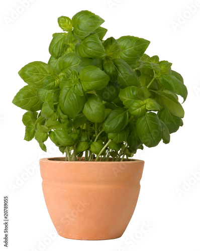 Basil growing in a flower pot