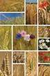 canvas print picture - épi d'orge et de blé
