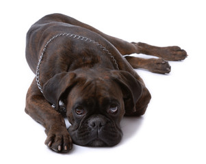 Resting sad boxer dog