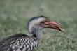 Vogelfutter: Heuschrecke