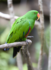 eclectus parrot male green parrot  bird, indonesia