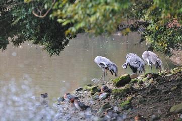 鶴のグループ