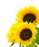 sunflower background image isolated on white