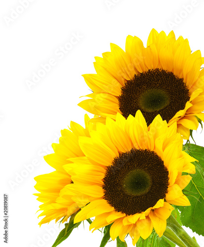 Foto op Canvas Zonnebloem sunflower background image isolated on white