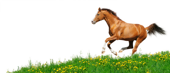 Trakehner stallion gallops in field