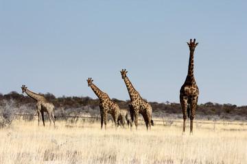 Giraffes in Etosha Park, Namibia