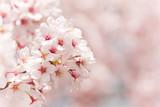 cherry blossom - 20839850