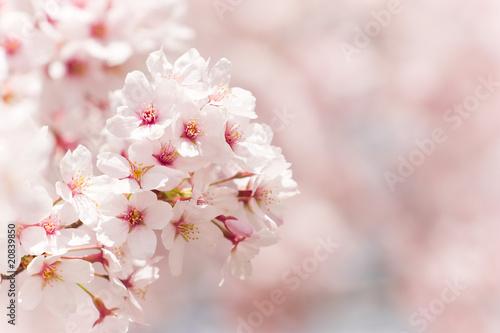 Keuken foto achterwand Kersen cherry blossom