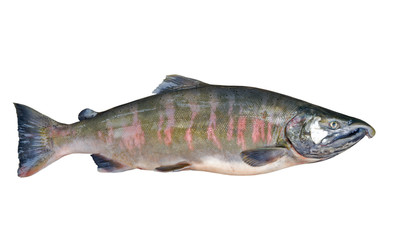 Male of salmon 2