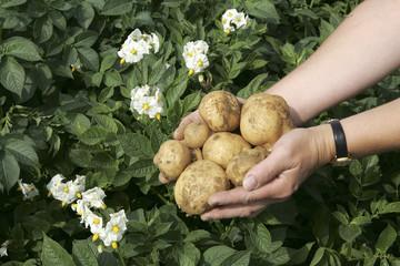 Kartoffeln und Kartoffelblüte