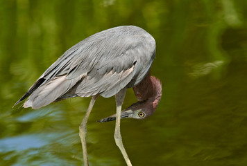 Little Blue Heron in Florida
