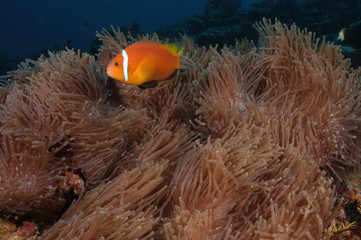 Black footed clownfish