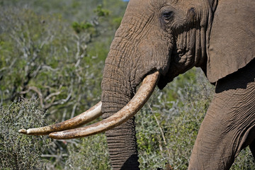 The largest Elephant in Addo Shows his tusks