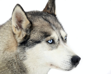 Husky - Looking interested