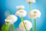 bellymania - gänseblümchen