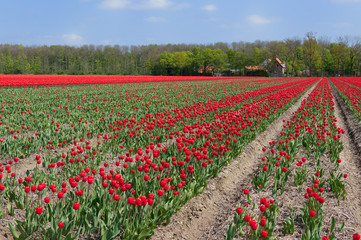 Tulip bulb fields in Holland
