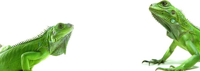 Two Green Iguanas