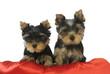 deux chiots yorkshire terriers sur un coussin rouge