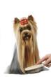 yorkshire terrier en train de se faire brosser