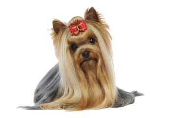 yorkshire terrier couché de face dans une position de star