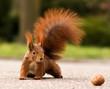 Eurasian red squirrel - Eichhörnchen und Walnuss