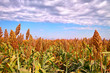 Sorghum under blue sky in autumn - 20893228