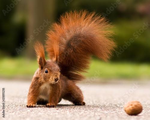 Plexiglas Eekhoorn Eurasian red squirrel - Eichhörnchen und Walnuss
