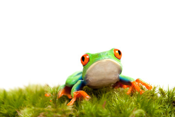sad frog on moss isolated