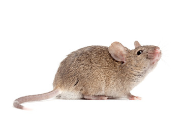 mouse close up isolated on white