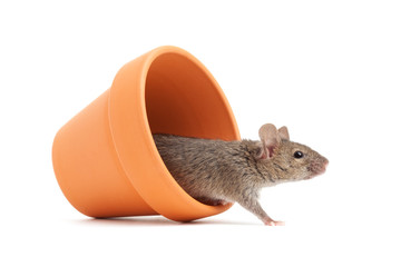 mouse in a pot isolated on white