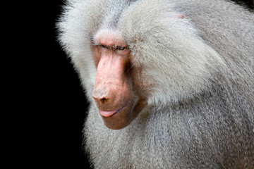 baboon closeup isolated on black